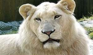 پاکستان میں پہلی بار سفید شیروں کا جوڑا لانے کی تیاری