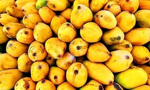 Mango exports in full swing