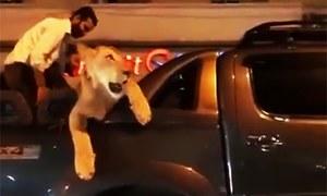 Lion on Karachi's streets causes social media furore, owner and pet taken into custody