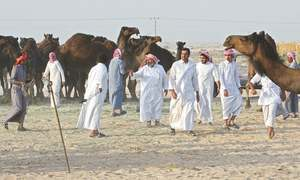 Camels caught up in Qatar feud reunited with their owners