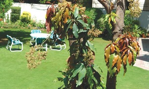 GARDENING: DON'T CRITICISE YOUR MANGO TREE