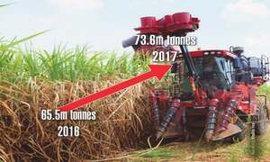 New varieties to keep  sugarcane output high