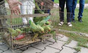 Green parrots released after being confiscated from traffickers