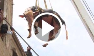 کراچی: قربانی کے بیل چھت سے اتارنے کے مناظر