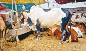 Cattle traders grapple with muddy mess as business suffers
