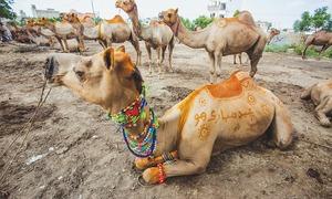 Camel sacrifice