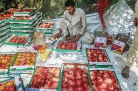 Swati pomegranate getting popular in big cities