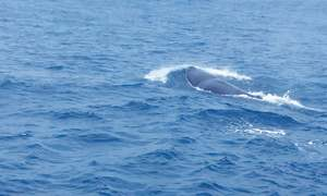 Sperm whales spotted for first time in Pakistan's waters