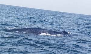 Giant blue whale spotted with calf off Churna Island