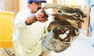 Dried parts of 68 freshwater turtles confiscated