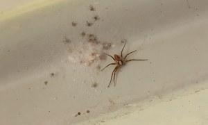گھر کو مکڑیوں سے کیسے پاک کریں؟