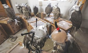 Qatari man arrested at Lahore airport while trying to smuggle 9 falcons worth Rs50m