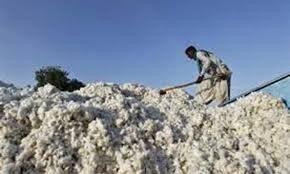 Cotton production up 37pc