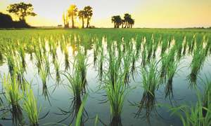 China helps Pakistan develop hybrid rice varieties