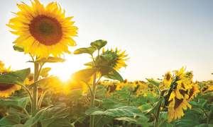 Dusk falls on sunflower cultivation in Sindh