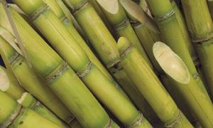 Sindh govt yet to notify indicative price for sugarcane