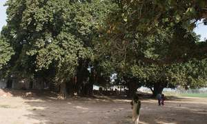 These banyan trees are proof of Pakistan's roots in inter-religious peace