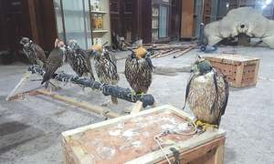 Six endangered falcons recovered from DHA flat