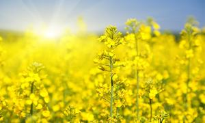 How pure is the canola oil you are using at home?