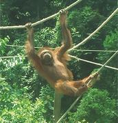 Footprints: SAVING ORANGUTANS