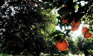 Why citrus production is not living up to its potential