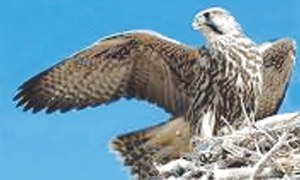 SWD returns five Saker falcons to UAE officials