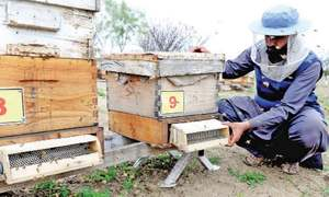Extracting honey the traditional way