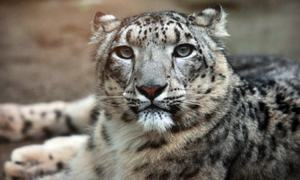 Snow leopard dies in Peshawar Zoo