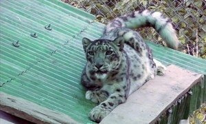 Who is responsible for the snow leopard's death at Peshawar Zoo?
