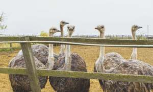 Ostrich farming thrives in Punjab