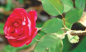 GARDENING: GRAFTING PERFECT ROSES