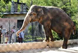Blind elephants used by tourists at popular Indian fort