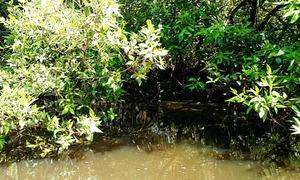 ماحول دوست مینگرووز سے ہماری دشمنی کیوں؟