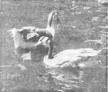 This week 50 years ago: Pair of geese and anti-social elements