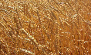 Record wheat exports in March