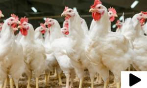 رمضان سے قبل مرغی کے گوشت کی قیمتوں میں اضافہ