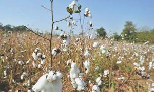 Prospect of delayed cotton sowing unnerves farmers