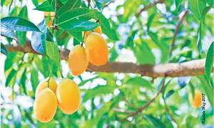 Mango production likely to go sour