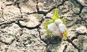 Cotton growers suffer due to continued water shortages