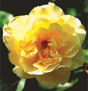 GARDENING: 'WHY IS MY ROSE BUSH DECAYING?'