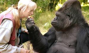 Koko, gorilla who used sign language, dies