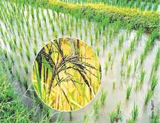 Unchecked GM  seed imports could hurt rice exports