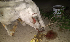 """This poor donkey was """"beat to a pulp"""" and tortured at the hands of political supporters"""