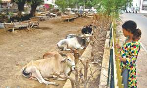 Qurbani becoming costlier despite rise in cow, goat numbers