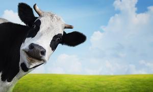 گائے بھی منہ میں زبان رکھتی ہے