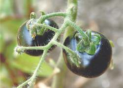 GARDENING: GROW YOUR OWN TOMATOES