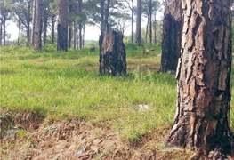 Felling of trees goes unchecked in Kotli Sattian