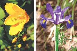GARDENING: BLOOMING BULBS AND CORMS