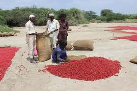 Pakistan's chilli production scorched by water shortages, theft