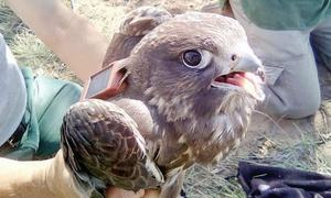 WWF-Russia alerts conservationists to Saker Falcon in Balochistan